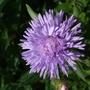 Erigeron 'Azure Fairy' (Erigeron)