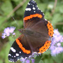 Red Admiral on Mistflower (Laportea canadensis)