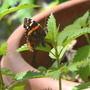 Red Admiral female ovipositing on Wood Nettle (Laportea canadensis)