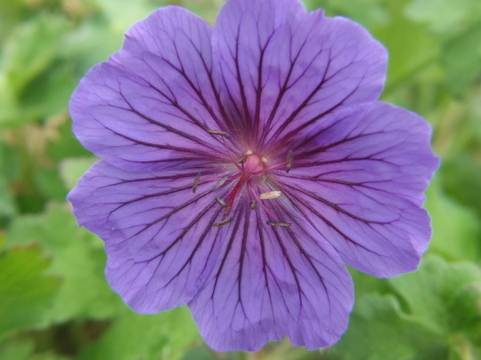 Geraniun Johnson Blue (geranium)