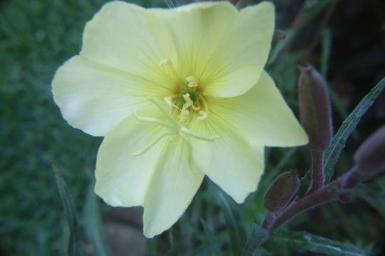 Evening primrose (Oenothera biennis (Common Evening Primrose))