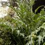 my garden 2009 - artichokes