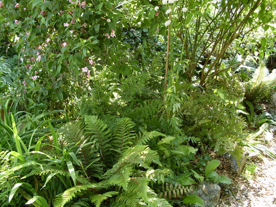 Fernery, late afternoon, June 09