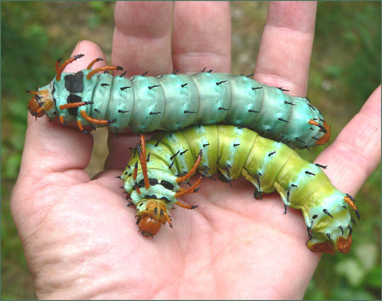 Regal moth larvae, Hickory Horned Devils (Rhus glabra)