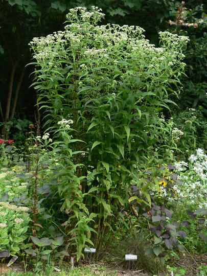 Boneset, Eupatorium perfoliatum (Eupatorium perfoliatum)