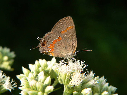 Red-banded Hairstreak on Boneset (Eupatorium perfoliatum)