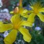 St John's Wort 2 (Hypericum Polyphyllum)