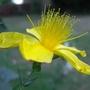 St John's Wort 3 (Hypericum Polyphyllum)