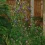 Geraniums, Aquilegas, Foxglove
