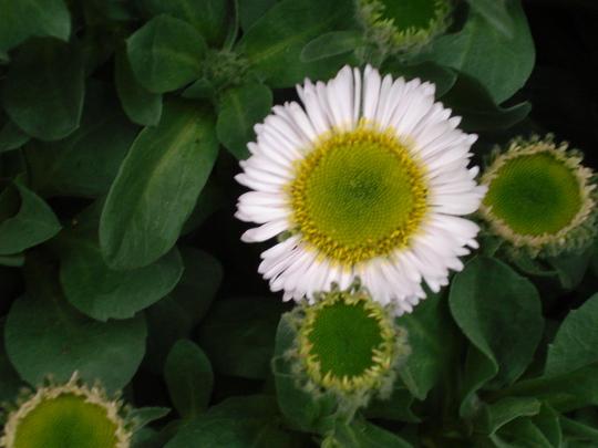 Fleabane (Erigeron speciosus) (Erigeron aureus (Flebane))