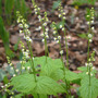 Miterwort_blooms_leaves_clump_4_25_07_good_med