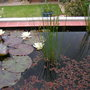 NEW LILY PLANT IN BLOOM