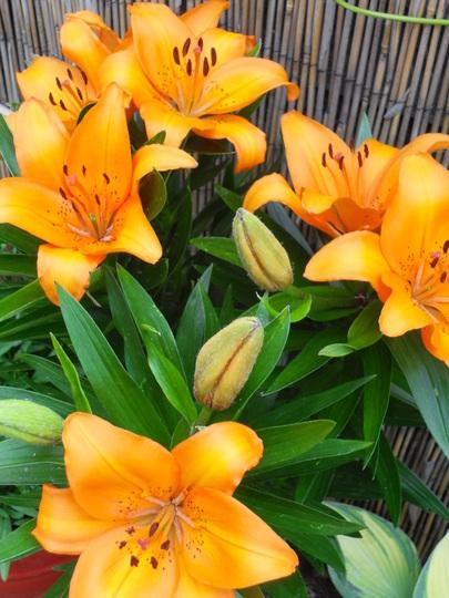 Hardly Lily Orange