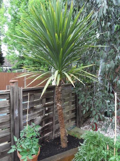 Cordyline Australis (Cordyline australis (New Zealand cabbage palm))