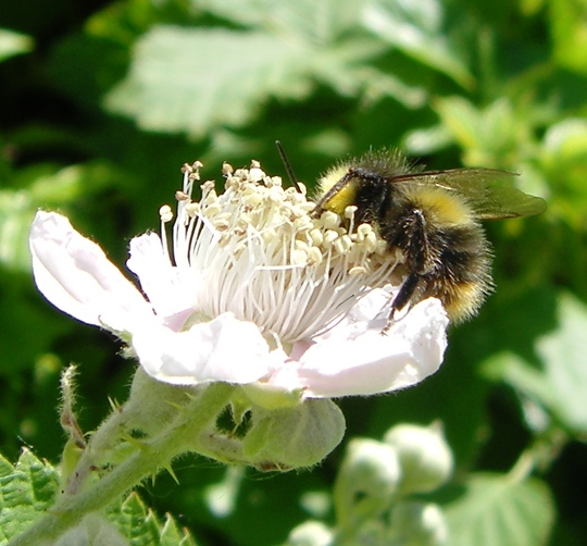 Bee on Bramble blossom
