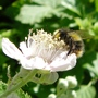 Bee_on_bramble_blossom_2_06_09