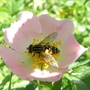 Hoverfly_on_dog_rose_2_06_09_2