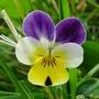 Violet_3_06_09_
