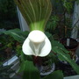 Arisaema_sikokianum_close_up