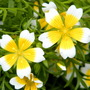 Poached Egg Plant (Limnanthes douglasii) (Limnanthes douglasii (Poached egg plant))