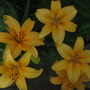 Asian Day Lily's
