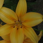 Day Lily's