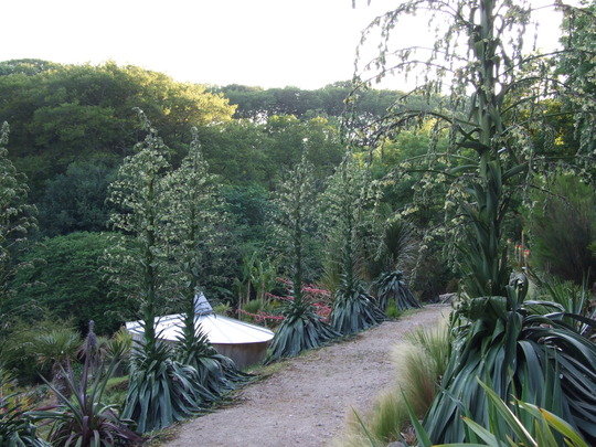 Avenue_of_Furcraea.jpg (Furcraea foetida (Green Aloe))