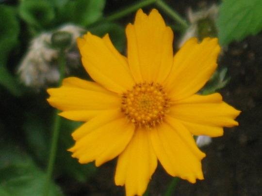 Coreopsis 'Nana' Little Grandma Plant (Coreopsis Enano)