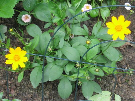 "Coreopsis Enano ""Little Grandma Plant"" (Coreopsis Enano)"