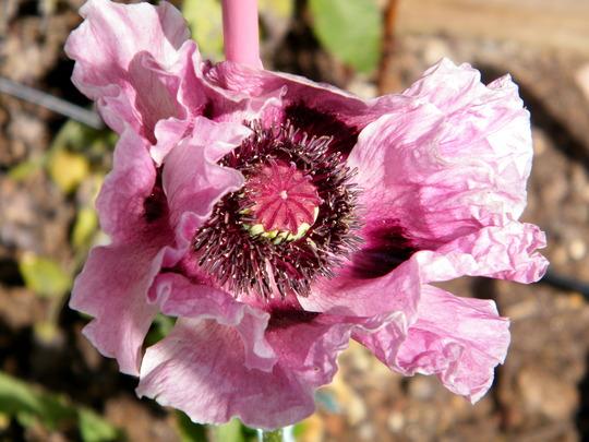 Oriental Poppy 'Patty's Plum' (Papaver orientale (Oriental poppy))