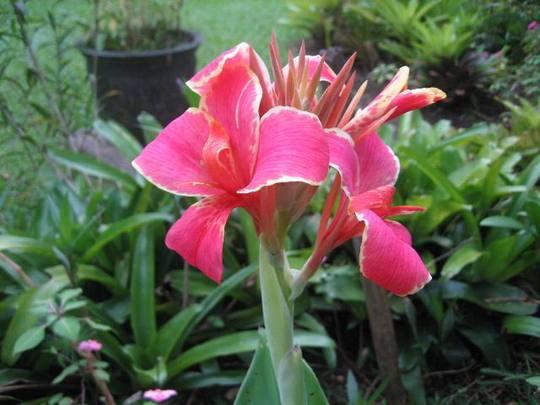 The first Canna Flower in my garden.