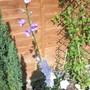Campanula persicifolia