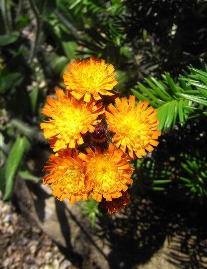 Pilosella aurantiacum - 2009 (Hieracium aurantiacum)