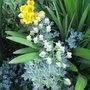 Tropaeolum polyphyllum - 2009 (Tropaeolum polyphyllum)