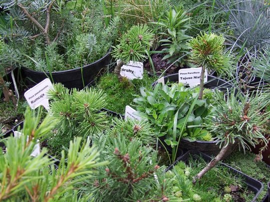 Pinus WB mix (Acinos alpinus (Alpine Calamint))