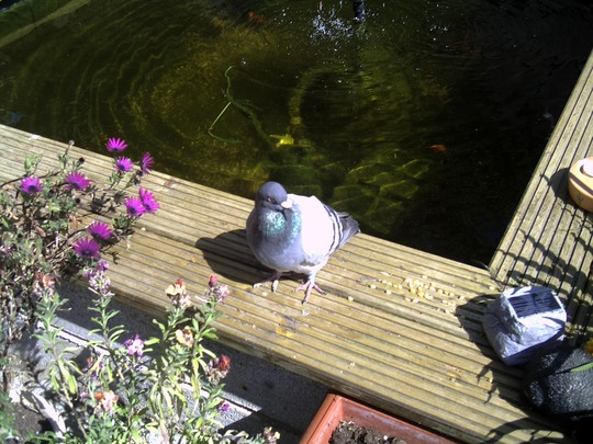 stray pigeon