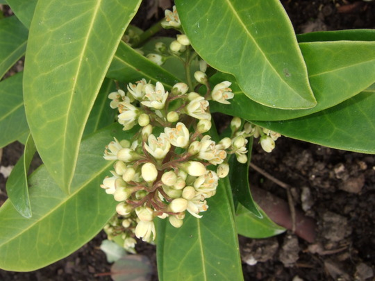 Skimmia x confusa 'Kew Green' flower (Skimmia x confusa (Skimmia))