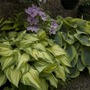 Pair of hostas