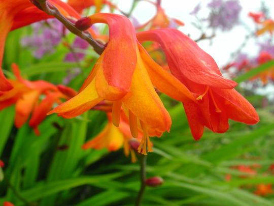 Crocosmia flower (Crocosmia x crocosmiiflora)