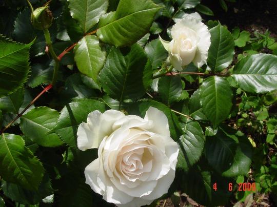 Rosa Floribunda 'Margaret Merril' Flower detail (Rosa Floribunda 'Margaret Merril')
