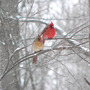 Northern Cardinal Pair