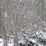 Cardinal_bunches_in_snow_3_07_08_sm