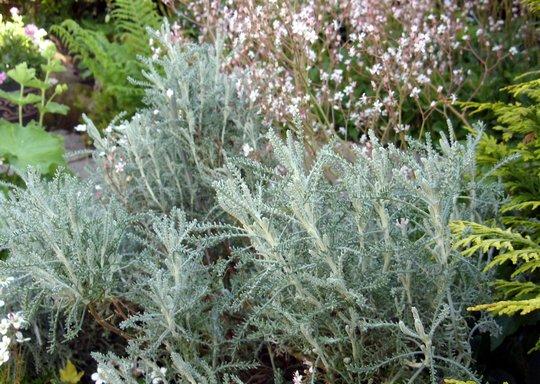 Santolina  Cotton Lavender (Santolina chamaecyparissus (Cotton lavender))