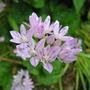 Allium_amplectens