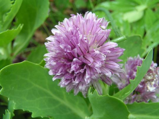 chive.jpg (Allium schoenoprasoides)