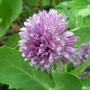 Allium schoenoprasoides