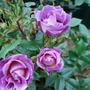 130_rose_blue_for_you_3_jun_09
