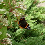 Red Admiral on Photinia