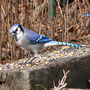 Bluejay_groundseed_1_12_06_exc_sm