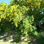 laburnum ( golden chain) (laburnum anagyroides)